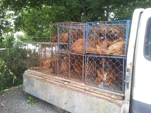 Dog meat farm rescue