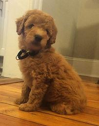 Golden Doodle Puppy
