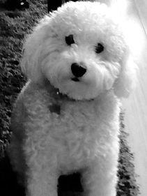 English Cream Doodle Puppies