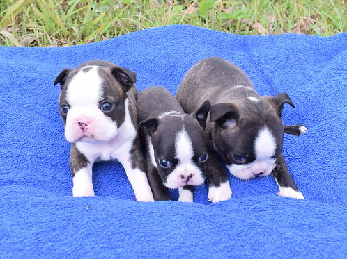 Filhotes de Boston Terrier