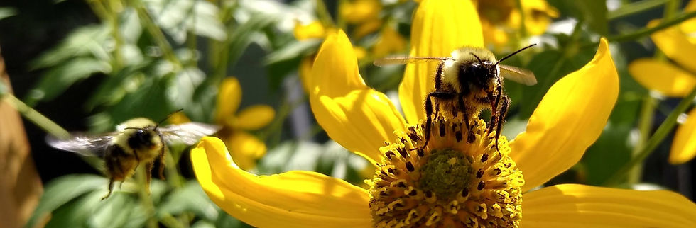 Pollinators_coriopsis_Hamerla_edited.jpg