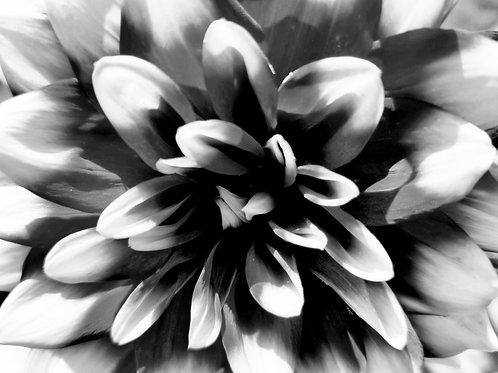 B&W Dalia Flower