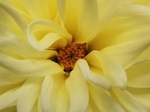 Yellow Dalia Flower