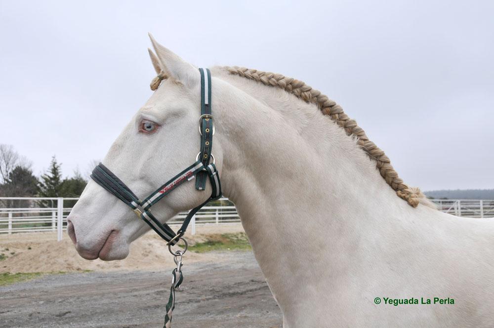 DINAMICO_lusitano_albino_yeguada_la_perla_DSC4479.jpg
