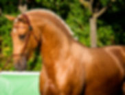 Venta de caballos lusitanos. Perla, albino, bayo, alazan, rio 2016, doma clasica, jjoo, olimpiadas