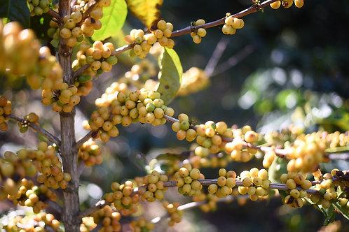 แสนชัย Estate ลูกเหลือง อ.กัลยาณิวัฒนา จ.เชียงใหม่ (Signature Natural){Espresso}