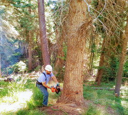 Hazard Tree Removal - Forest Lakes