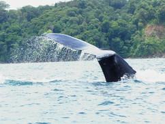 Coletazo de ballena jorobada