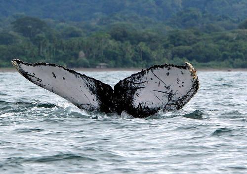 Cola de ballena jorobada