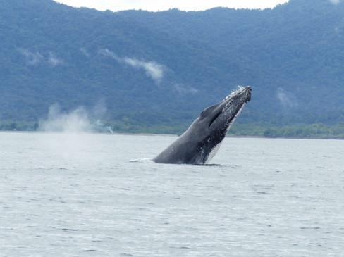 Cabeza ballena jorobada