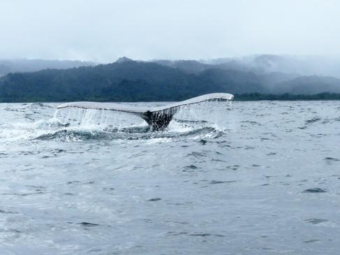 cola ballena