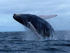 Salto de ballena jorobada