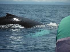 Lomo y aleta ballena jorobada