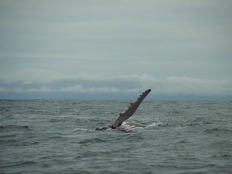 Aleta ballena jorobada