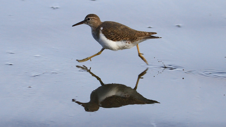 Actitis macularia, Spotted sandpiper.jpg