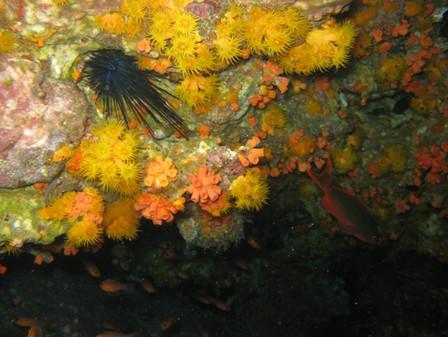 Erizo en corales