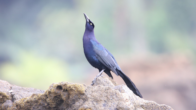 Quiscalus mexicanus, Great-tailed Grackl