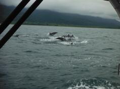 Delfines acompañando a ballenas jorobadas