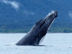 Barrigazo ballena jorobada