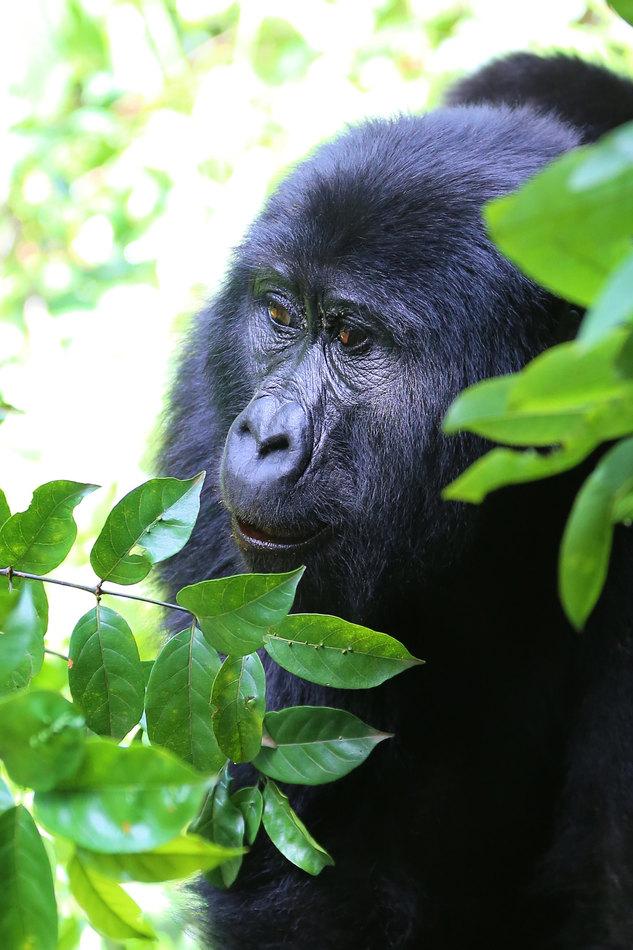 Gorillas 4-min.jpg