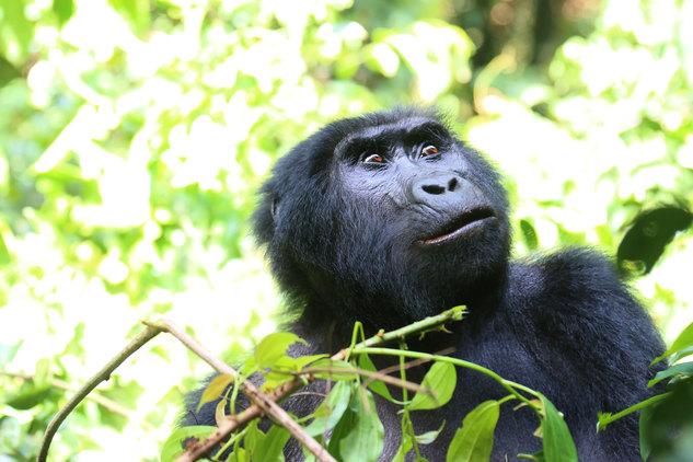 Gorillas 11-min.jpg