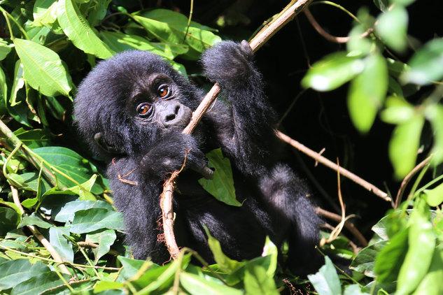 Gorillas 17-min.jpg