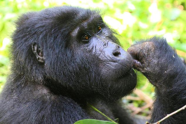 Gorillas 14-min.jpg