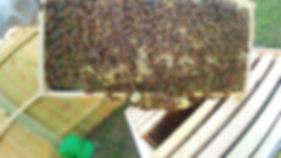 a frame of bees.jpg
