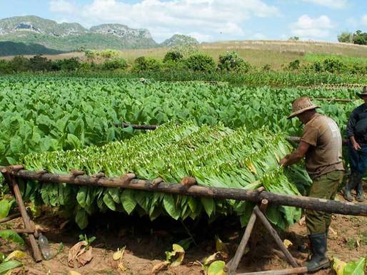 Выращивание табака.