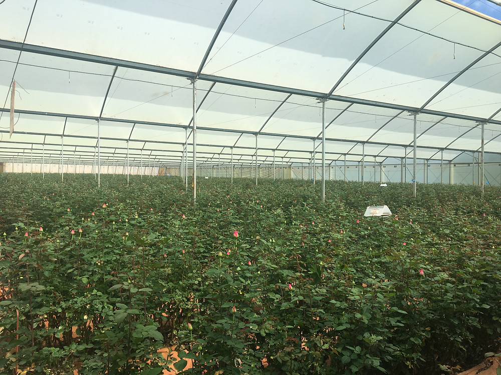 Greenhouse Mt Elgon Orchards_Wednesday