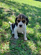 Beagle_tricolor