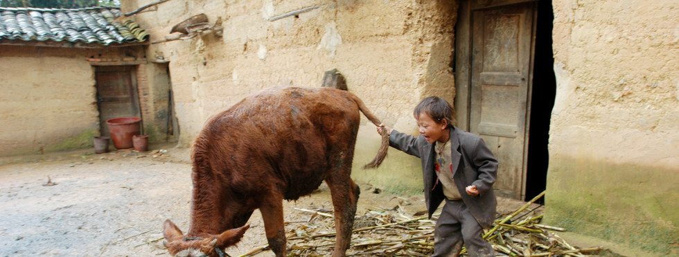 Young boy with the family cow. Yunnan, China 2003