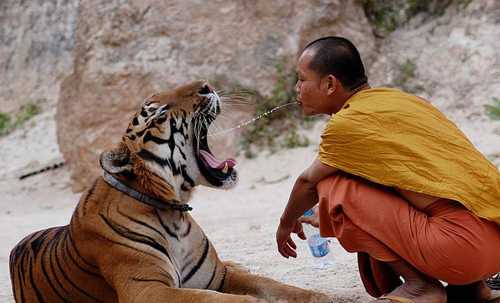 Tiger and Buddhist Monk. Thailand 2003