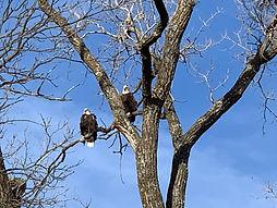 Eagle 2.jpg