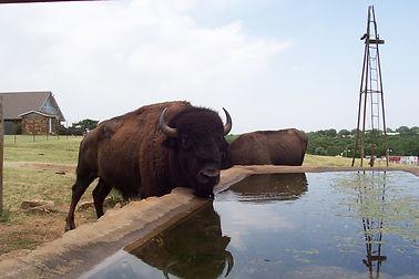 Buffalo Bull.JPG