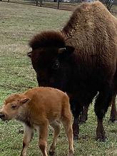 Bison & Calf.JPG