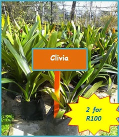 clivia special.jpg