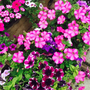 The Dirt - Annual Flowers, Herbs, Perennials and more