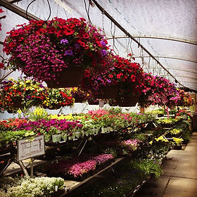 Our hanging baskets have arrived here at the Wildflower Farm! These pre-planted annual baskets have