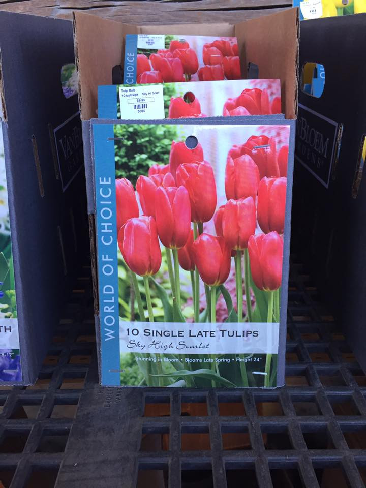 Caring for Spring Blooming Bulbs