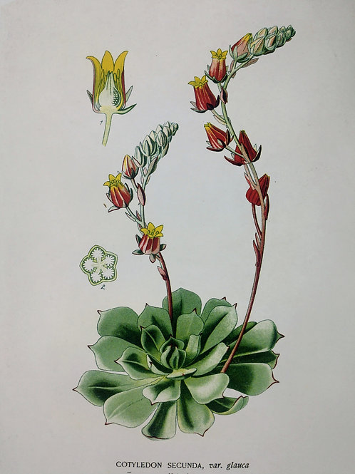 Vintage Botanical Succulent 1 Print