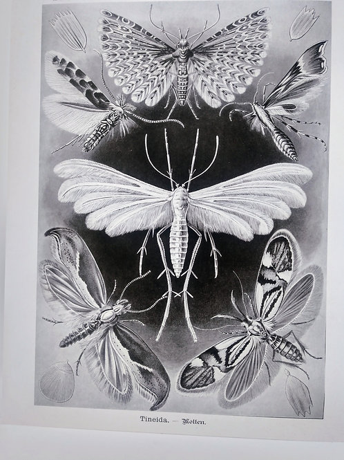 Vintage Natural History Haeckel Moth Insect Print