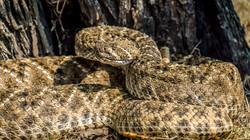 ATTO-S11-Texas-Snake