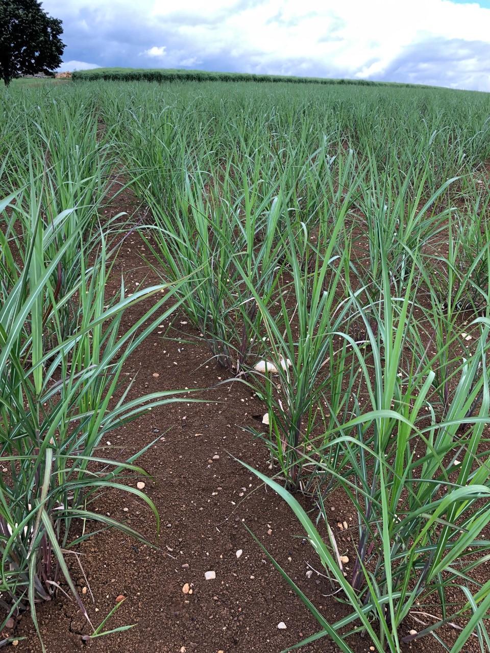 Miscanthus 4 mois après plantation