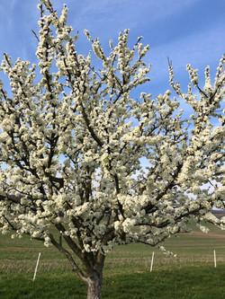 Paillage des arbres fruitiers