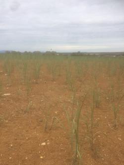 Miscanthus 2 mois après plantation