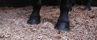 pieds_chevaux_miscanthus.jpg
