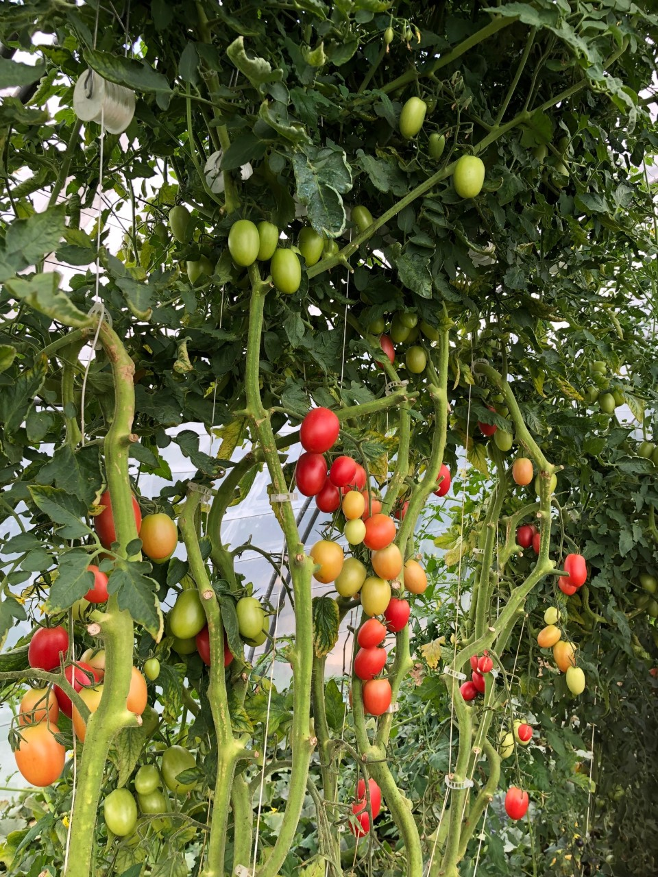 Tomates paillées au miscanthus