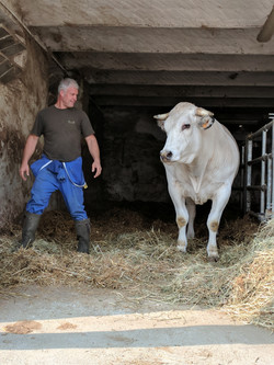 Bull weighs over 1,000 kilos