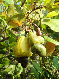 Cashew Tree with fruit